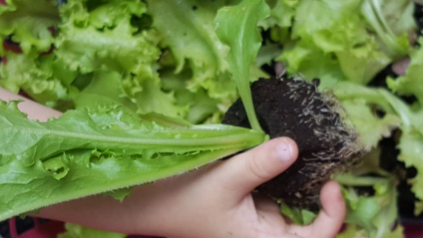 Gesund in Herbst und Winter: Salate, Kohlrabi und Grünkohl pflanzen